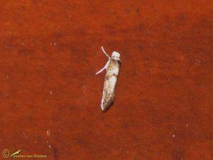 Meidoornduifmot - Paraswammerdamia nebulella