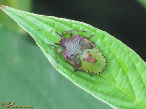 Meidoornkielwants - Acanthosoma haemorrhoidale