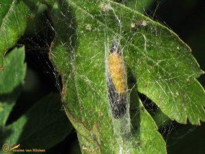 Meidoornstippelmot - Yponomeuta padella