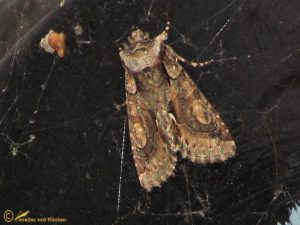 Meidoornuil - Allophyes oxyacanthae