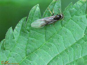 Mier onbekend - Formicidae indet.