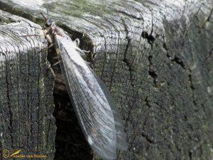 Mierenleeuw – Myrmeleon formicarius