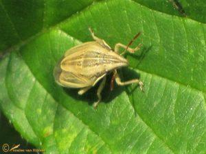 Mijterschildwants - Aelia acuminata