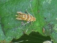 Mineermotten (Gracillariidae)
