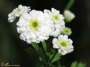 Moederkruid - Tanacetum parthenium