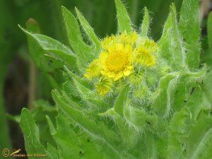 Moerasandijvie – Tephroseris palustris