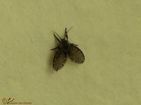 Motmuggen (Psychodidae)