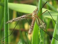 Muggen Soorten