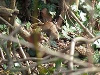 Muizen, Hamsters v.d. Nieuwe Wereld (Cricetidae)