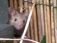 muizen-van-de-oude-wereld-muridae-1