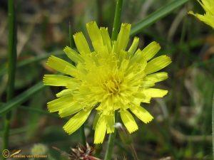 Muizenoor – Pilosella officinarum