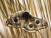 Nachtpauwogen (Saturniidae)