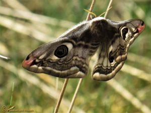 Nachtpauwoog - Saturnia pavonia