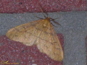 Najaarsspanner - Agriopis aurantiaria