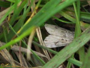 Nazomergranietmot - Eudonia truncicolella