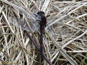 Noordse witsnuitlibel – Leucorrhinia rubicunda ♂️