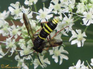 Normale fopblaaskop - Ceriana conopsoides