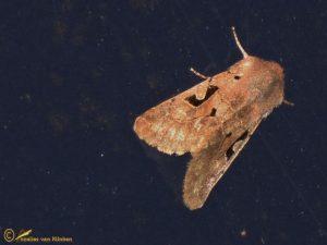 Nunvlinder - Orthosia gothica