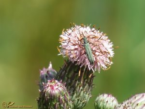 Oedemera lurida - virescens