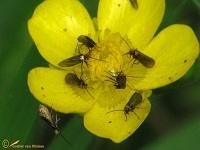 Oermotten (Micropterigidae)
