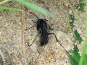Oever-borstelspinnendoder - Anoplius concinnus