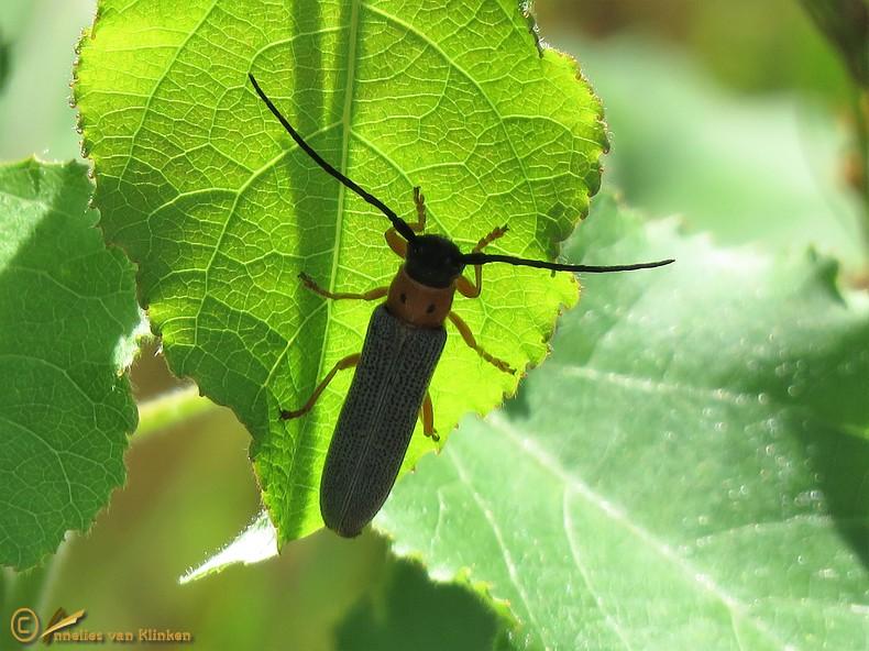 Oogvlekboktor - Oberea oculata