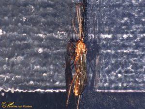 Ophion obscuratus-forticornis