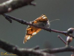 Oranje berkenspanner - Archiearis parthenias