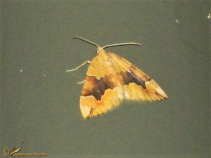 Oranje bruinbandspanner - Cidaria fulvata