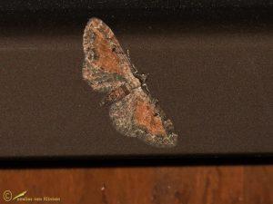 Oranje dwergspanner - Eupithecia icterata
