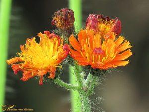 Oranje havikskruid - Pilosella aurantiaca