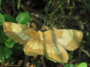 Oranje iepentakvlinder - Angerona prunaria