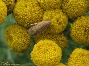 Oranje mospalpmot – Bryotropha terrella