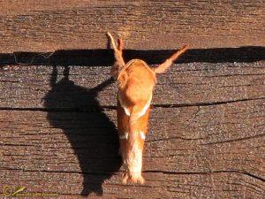 Oranje wortelboorder - Triodia sylvina
