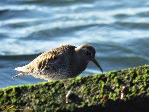 Paarse Strandloper – Calidris maritima