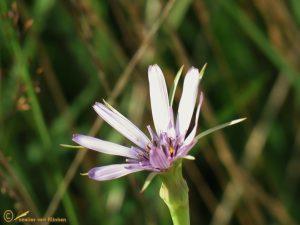 Paarse morgenster - Tragopogon porrifolius