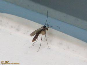 Paddenstoelmug onbekend - Mycetophilidae indet.