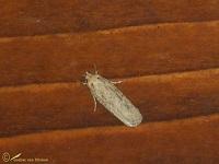 Palpmotten (Gelechiidae)