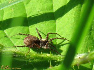 Pardosa lugubris-groep - Pardosa lugubris s.l.