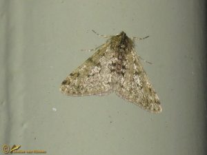 Perentak - Phigalia pilosaria