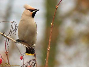 Pestvogel - Bombycilla garrulus