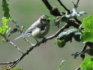 Pimpelmees – Cyanistes caeruleus