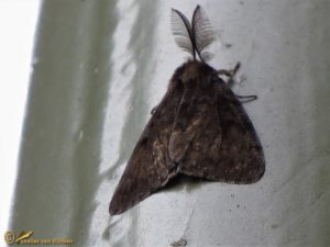 Plakker - Lymantria dispar