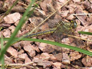 Plasrombout – Gomphus pulchellus