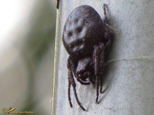 Platte Wielwebspin - Nuctenea umbratica