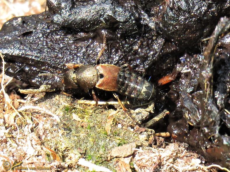Platydracus chalcocephalus