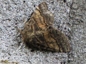 Populierentandvlinder – Gluphisia crenata