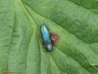 Prachtkevers (Buprestidae)