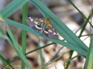 Purpermot - Pyrausta purpuralis