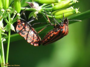 Pyjamaschildwants - Graphosoma italicum